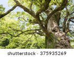 Longevity Large Camphor Tree...