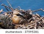 Female Mallard Duck On Eggs
