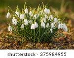 delicate snowdrop flower is one ... | Shutterstock . vector #375984955