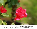 Red Bougainvillea On Evening