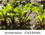 young sprouts of red beetroot ... | Shutterstock . vector #376134364
