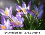 Lady Bug On Crocus Flowers ...