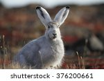 Stock photo arctic hare in fall 376200661