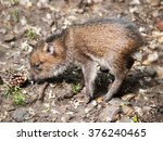 baby of collared peccary  ... | Shutterstock . vector #376240465