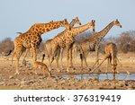 giraffe herd  giraffa... | Shutterstock . vector #376319419