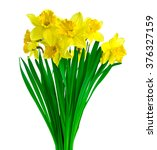 Daffodil Flowers Isolated On...