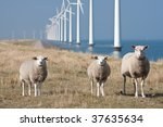 Curious Sheep Grazing At The...
