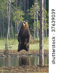 Brown bear in the Finnish woods - stock photo