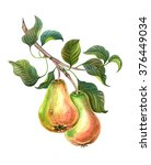 Pears On A Branch. Watercolor...