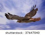 Red Tailed Hawk Soaring Throug...