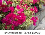 Purple Bougainvillea On Evening
