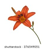 Single Orange Day Lily Flower...