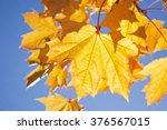 Maple Leaves On A Background O...