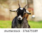 A Goat Looks At The Camera Fro...