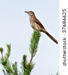 Brown Thrasher Sitting In A...