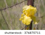 Blue Iris Bud Going To Blossom