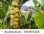 Banana Tree With Bunch Of...