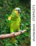 Small photo of Single Blue-Fronted Amazon Parrot (Amazona aestiva) sitting on a tree branch