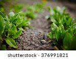 sorrel in the garden growing up ... | Shutterstock . vector #376991821