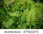 Green Fern As A Background ...