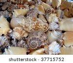 seashell - stock photo
