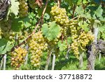 ripe yellow grapes in the... | Shutterstock . vector #37718872