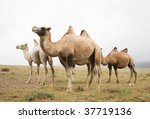 herd of bactrian camels in the... | Shutterstock . vector #37719136