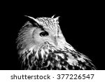 Owl On Dark Background. Black...