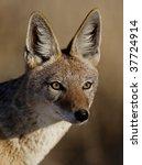 Black-backed jackal close-up - stock photo