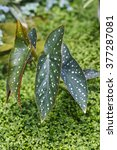 Small photo of Alocasia leaf in farm.