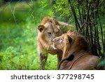 Asiatic Lion In A National Par...