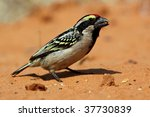 Small photo of Acacia pied barbet in the red sand of the Kalahari desert