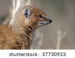 Yellow mongoose profile - stock photo