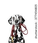 Stock photo dalmatian is holding the leash in its mouth 377454805