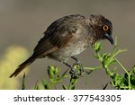 Small photo of African Red-eyed Bulbul