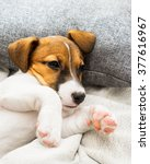 Stock photo puppy dog jack russell terrier playing on the bed 377616967