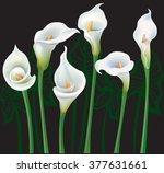 White Calla Lilies On Black...