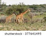two giraffes in the erindi...   Shutterstock . vector #377641495