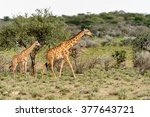 two giraffes in the erindi... | Shutterstock . vector #377643721