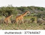 two giraffes in the erindi... | Shutterstock . vector #377646067