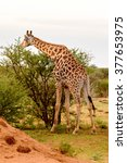 giraffe eats in the erindi...   Shutterstock . vector #377653975