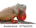 Iguana Colorful Iguana ...