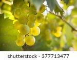 green grapes in vineyard in...   Shutterstock . vector #377713477