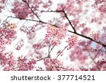 beautiful pink cherry blossom ... | Shutterstock . vector #377714521