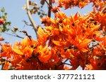 Outdoor Butea Monosperma Flower