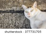 close up thai white color cat...   Shutterstock . vector #377731705
