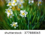 Blooming Narcissus. Flowering...
