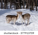 Two Fallow Deer In Winter
