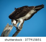 osprey eating a fish at lovers... | Shutterstock . vector #377915851