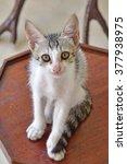 A Kitten  Felis Catus  Sitting...